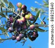 an olive tree branch with ripe olives - stock photo