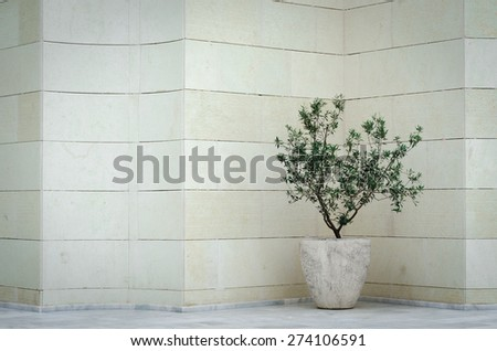 An olive tree in a pot near a stone wall - stock photo