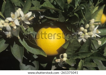 An orange and flowers hang on an orange tree in CA, USA - stock photo
