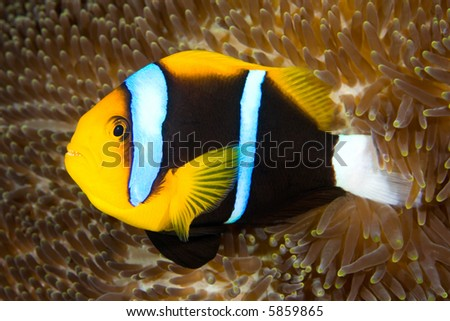an orange fin anemonefish living in the tentacles of its anemone