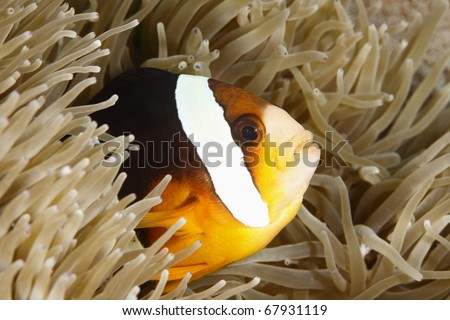 an orange-finned anemonefish living in the tentacles oif its anemone - stock photo