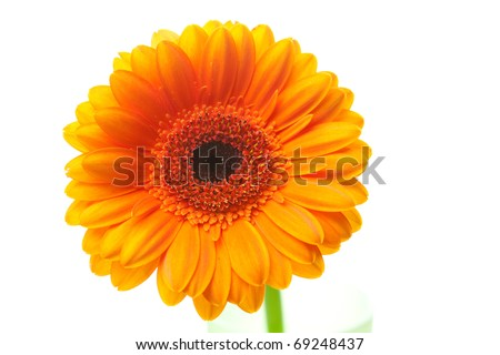 an orange gerbera flower isolated on white - stock photo