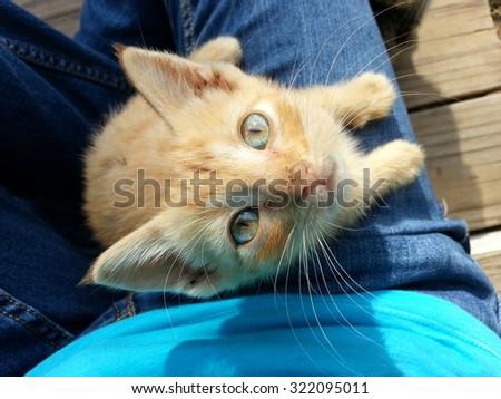 An orange tabby manx kitten. - stock photo