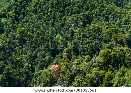 An orange tree between a bunch of green trees at the shore of Lake Todos Los Santos, Chile - stock photo