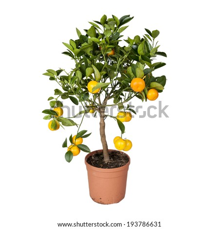 An orange tree in pot isolated on white - stock photo