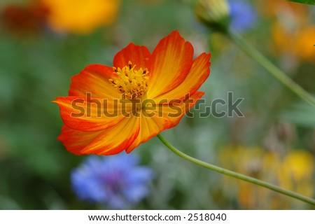 an orange wildflower on a multicolored bokeh - stock photo