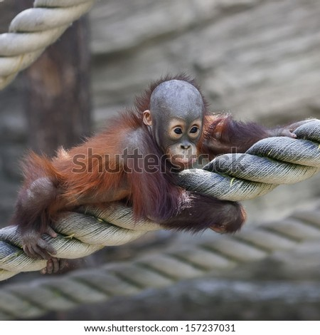 An orangutan baby on thick rope. Cute and cuddly cub with cheerful expression. Careless childhood of little great ape. Human like primate. - stock photo