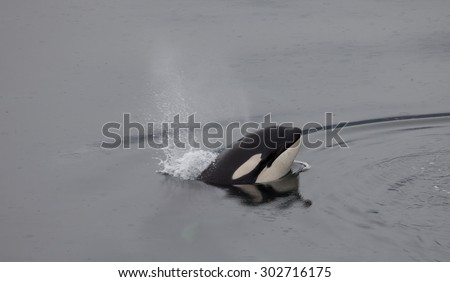 An orca whale (killer whale) breathes as it jumps head first out of the water - stock photo