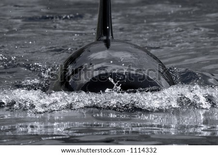 An Orca whale swimming along the surface of the water.