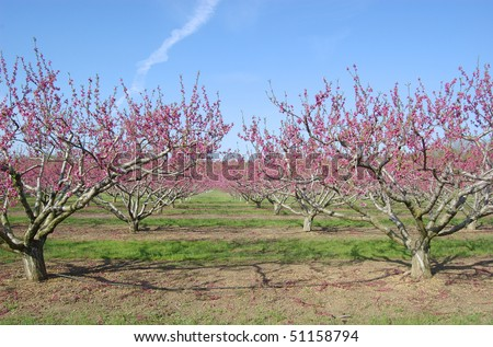 An orchard of pink peach trees blooming in spring - stock photo