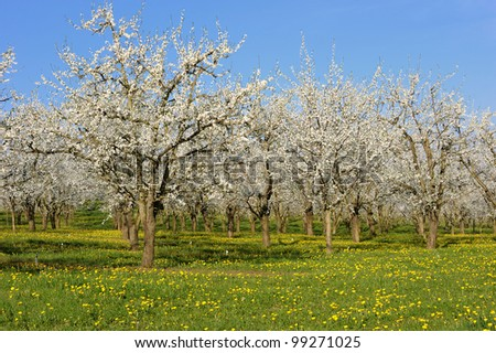 an orchard of plum blossom, in french countryside - stock photo