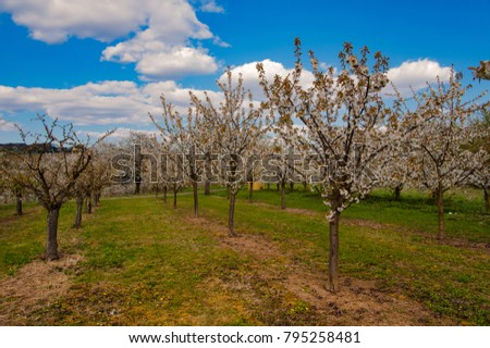 An orchard with cherry trees