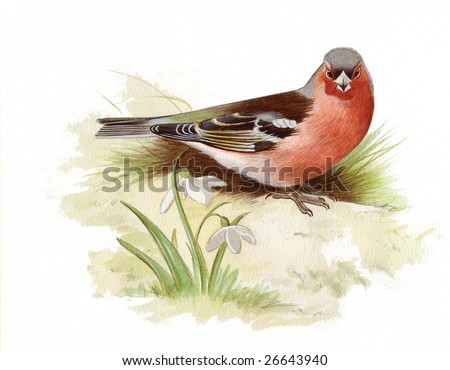 An original watercolor painting (by myself as the artist) of a Chaffinch. - stock photo
