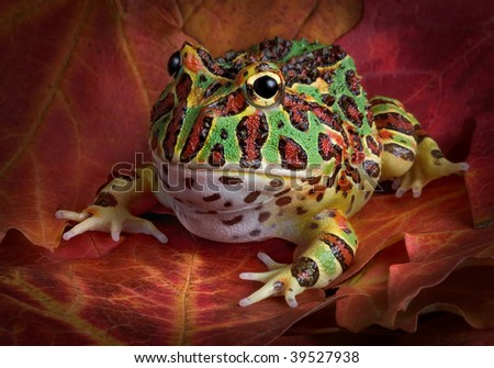 An ornate horned frog is sitting in some autumn leaves. - stock photo