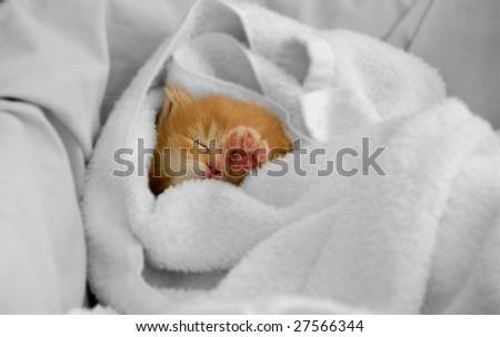 An orphan kitty sleeps snugly in a dry towel. - stock photo