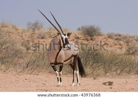 An oryx (Oryx Gazella) against a backdrop of dunes. - stock photo