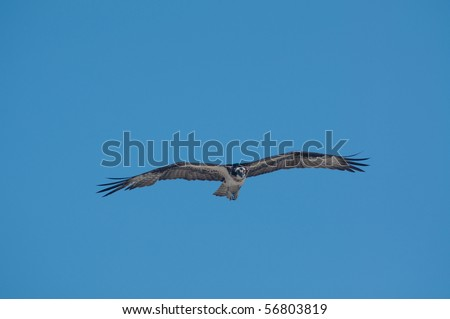 An osprey in flight and blue sky