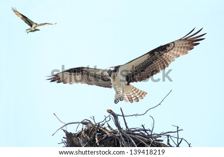 An Osprey Landing on It's Nest and Her Mate Flying In With a Fish - stock photo