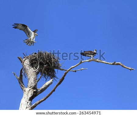 An Osprey Lands on It's Nest With Building Material as It's Mate Stands Guard - stock photo