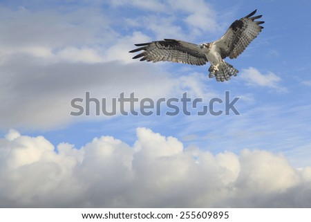 An Osprey With Twigs for It's Nest Coming in for a Landing - stock photo