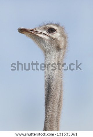 An Ostrich stretching its neck - stock photo