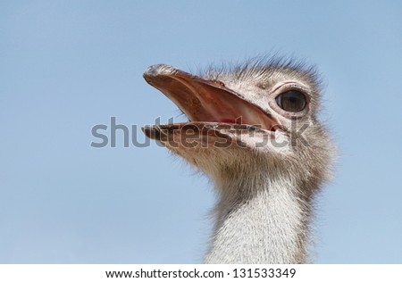An Ostrich with open bill - stock photo