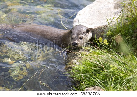 An otter is going back on land. - stock photo