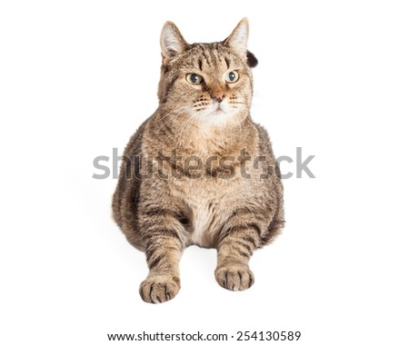 An overweight Mixed Breed Tabby Cat laying and looking to the side.  Entire body is facing the camera.   - stock photo