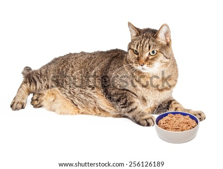 An overweight mixed breed Tabby cat laying next to a bowl of food - stock photo
