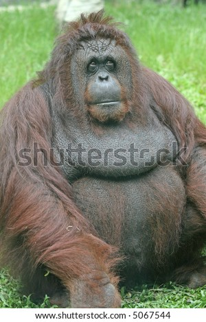 An overweight orangutan sitting on the grass