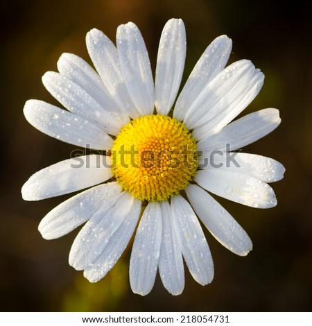 An Oxeye daisy flower shot from above - stock photo