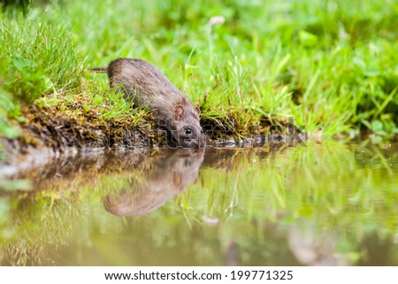 an rat drink water in the lake of the park