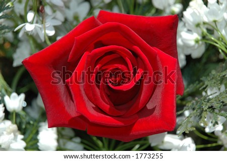 an red rose in gardem - stock photo