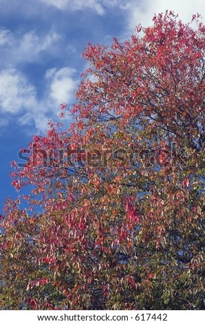 An tree with autumn colors against a blue sky - stock photo