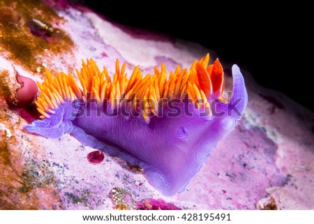 An underwater snail called a Spanish Shawl crawls over a California reef in search for food.  - stock photo