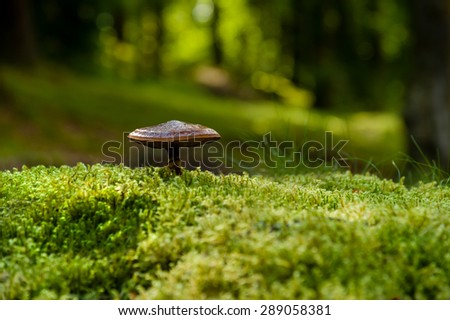 An unidentified wild fungus growing out of green moss in a Scottish woodland near the village of Killin. - stock photo