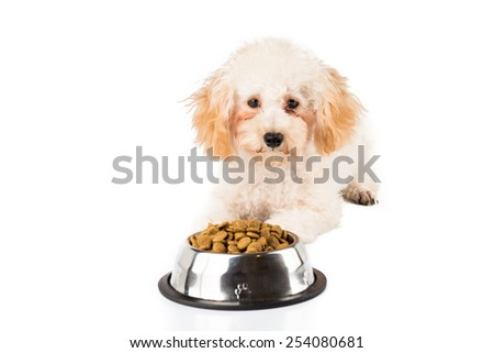 An uninterested poodle puppy next to her bowl full of kibbles