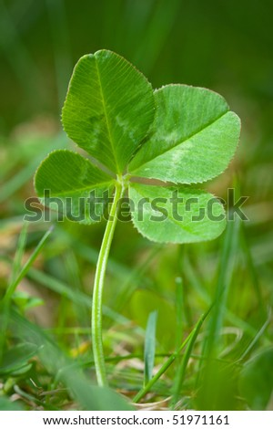 An unpicked four leaf clover isolated in grass. - stock photo