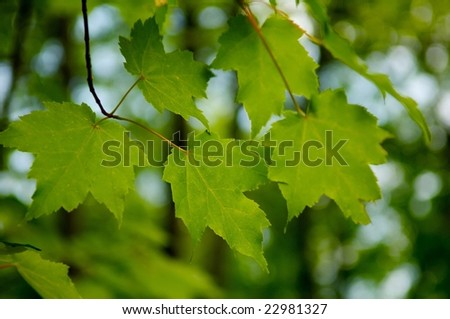 An up close image of bright green maple leaves