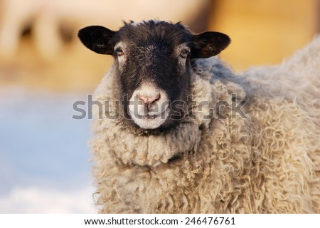 An up close view of a sheep portrait looking at the camera - stock photo