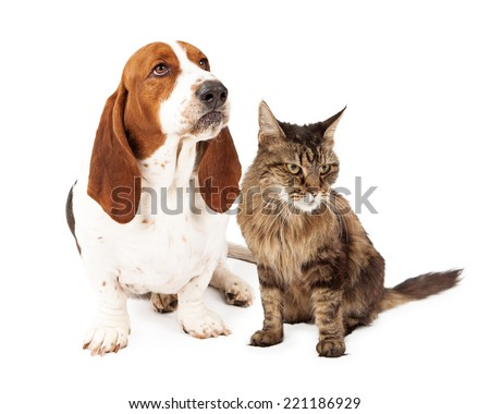 An upset Basset Hound dog with a funny look on his face sitting next to an angry cat. Both animals are looking in the same direction. - stock photo