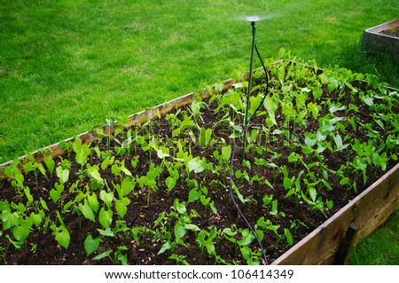 An urban garden in raised beds being watered - stock photo