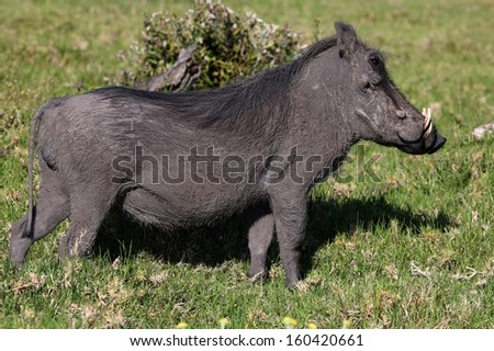 An Warthog standing in the grass