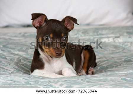 An 8 week old Rat Terrier puppy posing for the camera. - stock photo