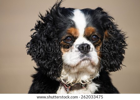 An 8 year old female trio color Cavalier King Charles Spaniel in the outdoors, West Kirby, Merseyside, England. - stock photo