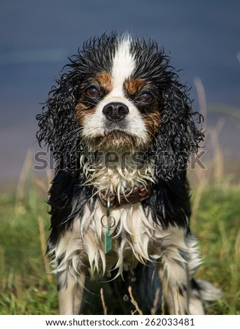 An 8 year old female trio colour Cavalier King Charles Spaniel, after a swim, West Kirby, Merseyside, England. - stock photo