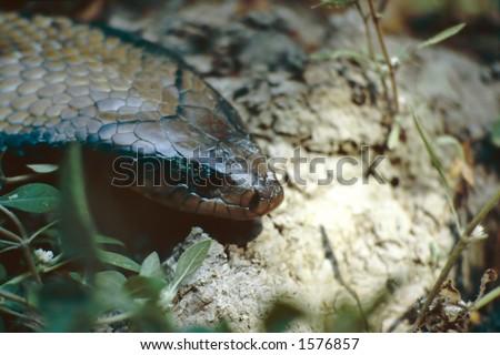 Anaconda - stock photo