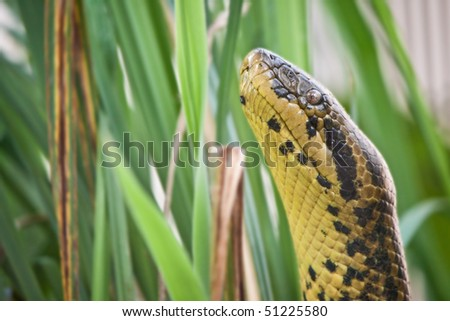 Anaconda - stock photo