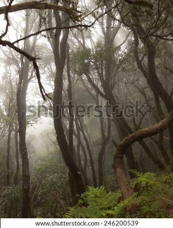 Anaga rain Forest in Tenerife  Canary Islands, Spain