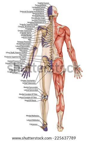 anatomical body human skeleton anatomy human stock illustration, Skeleton